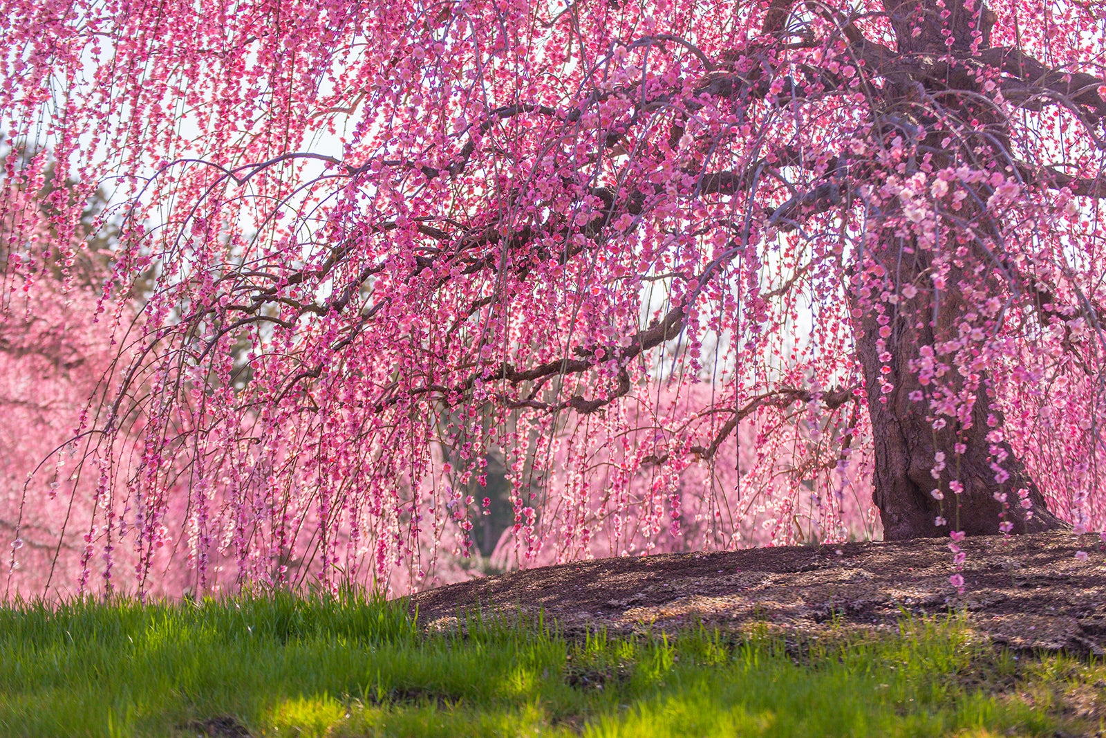 The Secret Cherry Blossoms Spot In Dc That S Tourist Free For Maximum Social Distancing